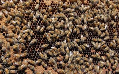 شرمناک حرکتیں کرنے والی شہد کی مکھیوں کی ملکہ کو ان کی رعایا ہی قتل کردیتی ہے، سائنسدانوں نے انتہائی دلچسپ وجہ بتادی