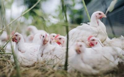 آٹا ، چینی اور چاول کے بعد اب برائلر مرغی کی قیمت میں کتنے روپے فی کلو اضافہ ہو گیا ؟ جان کر عوام شدید پریشان ہو جائیں گے
