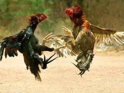 مرغوں کے دنگل پر پولیس کا چھاپہ، پانچ جواری دو مرغوں سمیت گرفتار