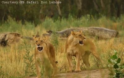 سفاری پارک میں شیر کے حملے سے نوجوان کی ہلاکت کامعاملہ، اصل حقائق سامنے آگئے