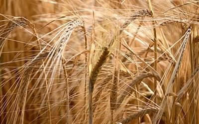 ملک میں گندم اورآٹے کا بحران کیوں پیدا ہوا؟،سینیٹ کی نیشنل فوڈ سکیورٹی کمیٹی کی رپورٹ بھی سامنے آگئی