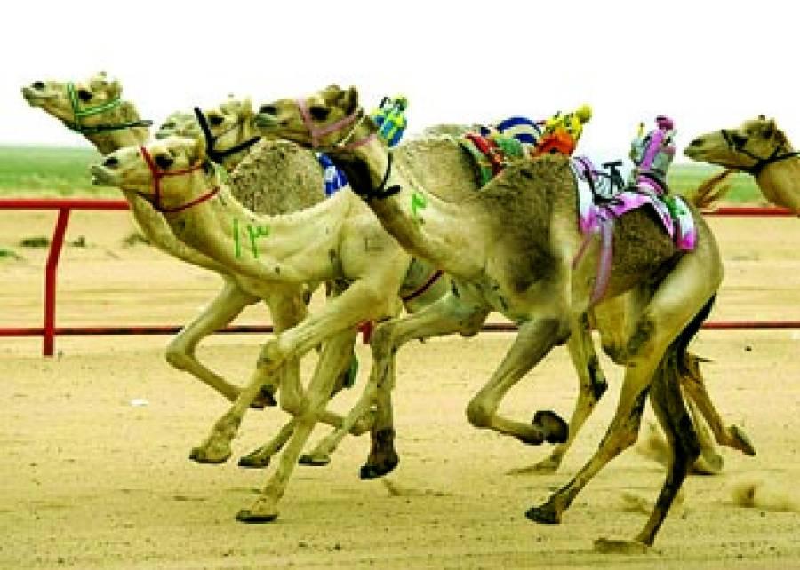 کویت:ریس میں اونٹ دوڑ رہے ہیں