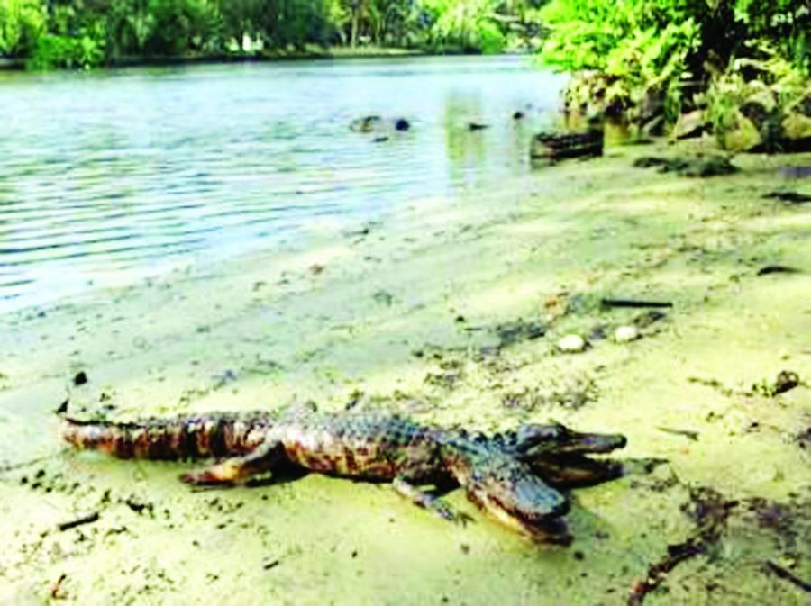فلوریڈا میں ایک ایسا مگرمچھ دیکھا گیا ہے، جس کے دو سر ہیں