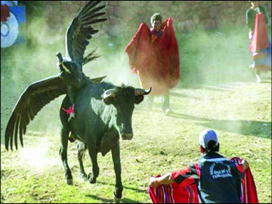 لیما،پرو میں گدھ اور بیل کی انسانوں سے لڑائی