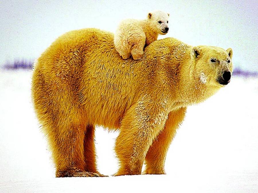 ٹورنٹو: برفانی ریچھ اپنے بچے کو کمر پر بیٹھائے ہوئے ہے