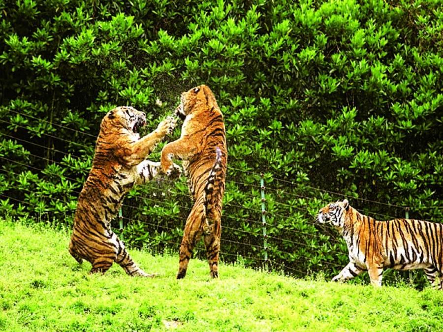 جوہانسبرگ: چیتے ایک دوسرے کے ساتھ کھیل رہے ہیں