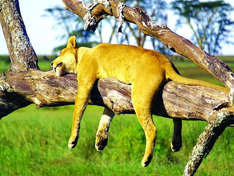 جوہانسبرگ:چیتے کا بچہ درخت کی شاخ پر سویا ہو اہے