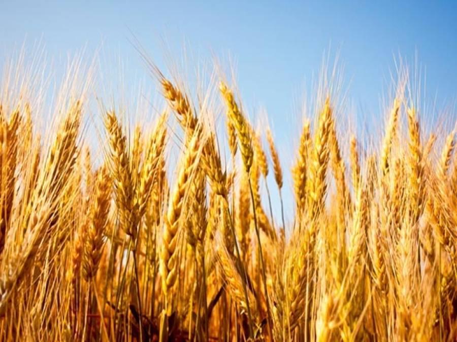 گندم اور اُس سے متعلقہ مسائل
