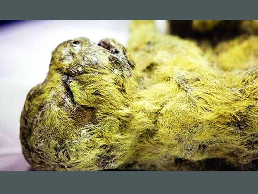 روس:غار سے 30 ہزارسال قدیم شیرکے بچے منجمد حالت میں برآمد