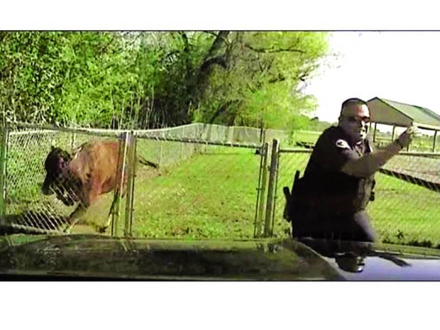 ٹیکساس :بپھری گائے نے پولیس اہلکار کی دوڑیں لگوادیں
