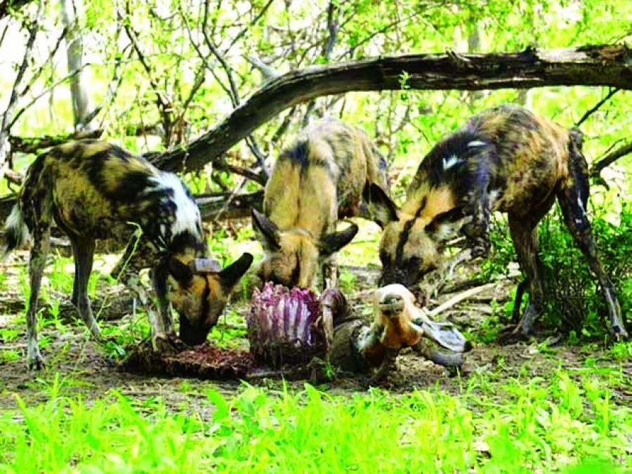 جنگلی کتے چھینکیں مار کر اکھٹے ہوتے ہیں
