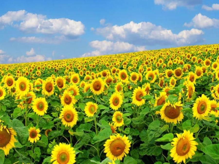 بہاریہ سورج مکھی کی کاشت