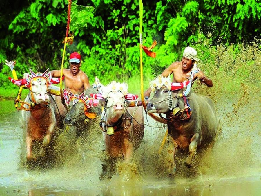 جکارتہ:بل ریس میں دو آدمی ایک دوسرے سے آگے نکلنے کی کوشش کر رہے ہیں