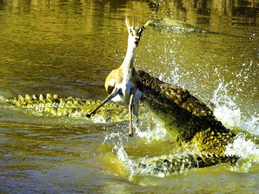کینیا: ایک مگرمچھ ہرن کو شکار کر رہا ہے