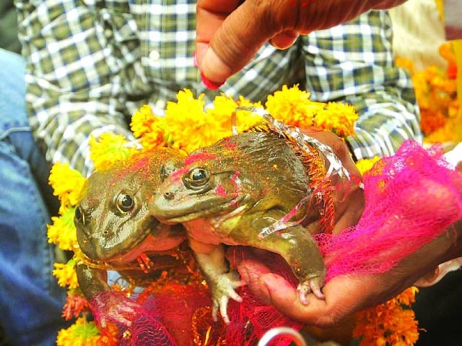 ناگپور: ہندو مینڈکوں کی شادی کر رہے ہیں