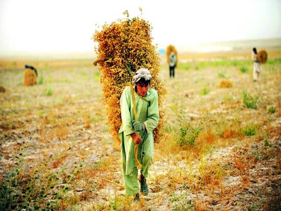 مزار شریف: افغانی محنت کش کھیت میں سے گزر رہا ہے