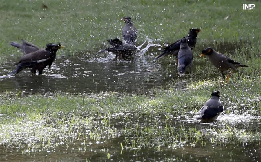 شدید گرمی میں پرندے کھڑے پانی میں نہا رہے ہیں