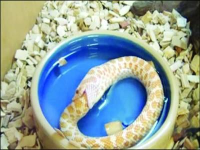بھوک سے بے حال سانپ نے خود کو ہی کھانا شروع کردیا