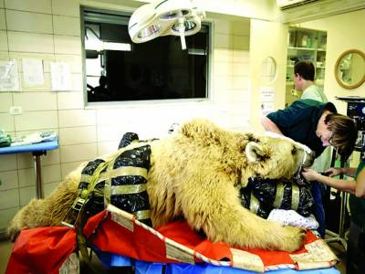 تل ابیب: ڈاکٹر ریچھ کا علاج کر رہا ہے