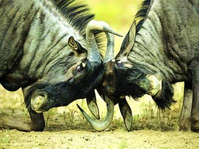جوہانسبرگ: دو جنگلی بھینس آپس میں لڑر ہے ہیں