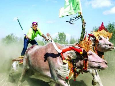 جکارتہ: بیل دوڑ میں حصہ لینے والا اپنے بیل کو دوڑا رہا ہے