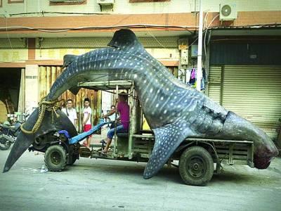 بیجنگ: ماہی گیر پانچ میٹر لمبی شارک مچھلی کو فروخت کرنے کیلئے لیکر جا رہا ہے جو لوگوں کے توجہ کا مرکز بنی ہوئی ہے