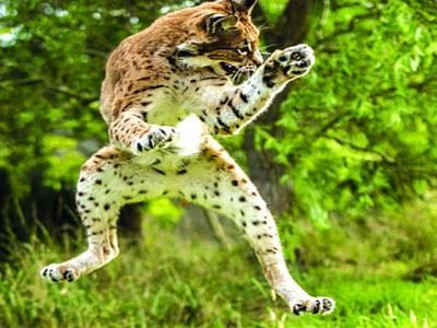 جوہانسبرگ: چڑیا گھر میں چیتا اٹھکیلیاں کر رہا ہے