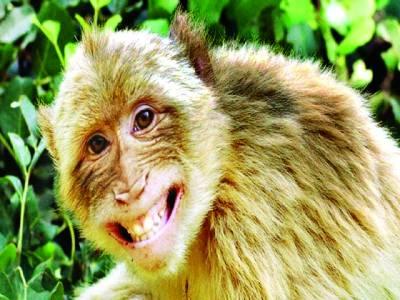بھارت کے پر فضا شہر شملہ میں ایک نیک دل بندر شہریوں میں پےسے بانٹنے لگا