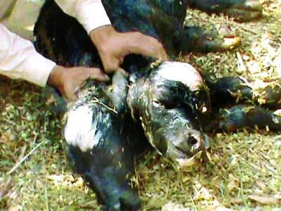 بہاولنگر میں دو منہ والے بھینس کے بچے کی پیدائش،شہری حیران