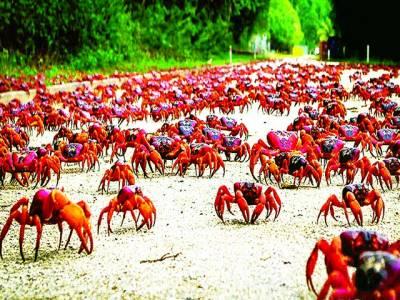 سڈنی: سرخ رنگ کے کیکڑے زمین پر رینگ رہے ہیں