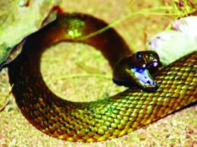 دنیا کا زہریلا ترین سانپ، زہر 100انسانوں کو مارنے کے لئے کافی
