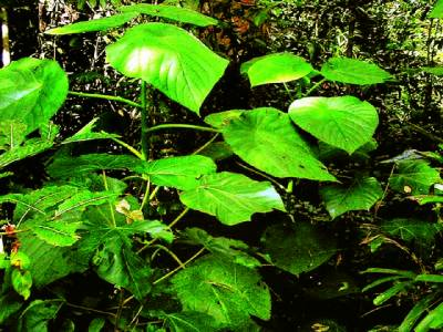 آسٹریلیااور انڈونیشیا میں پایا جانیوالازہریلا پودا جس کا کانٹا انسان کو ہلاک کر سکتا ہے
