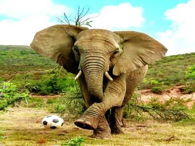 جوہانسبرگ: ہاتھی فٹ بال سے کھیل رہا ہے