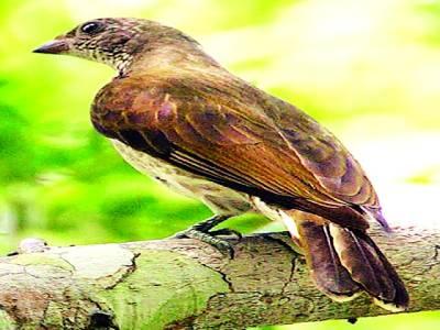 حیرت انگیز پرندہ جو شہد کے چھتوں کی تلاش میں انسانوں کی مدد کرتاہے