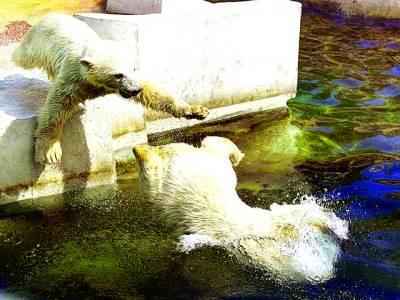 سڈنی: ریچھ پانی میں نہا رہے ہیں