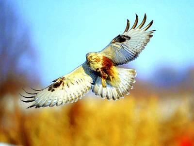 شمالی امریکہ: ایک پرندہ فضا میں پرواز کر رہا ہے