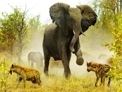 جوہا سبرگ: یش ل پارک میں چیتے ہاتھی سے بچ ے کی کوشش کر رہے ہیں