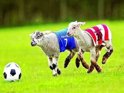 لندن: بھیڑ کے بچے فٹبال سے کھیل رہے ہیں