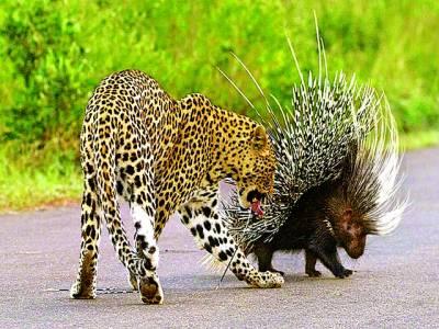جوہانسبرگ: بھوکا چیتا جانور سے لڑ رہا ہے
