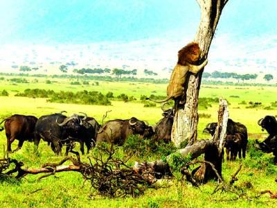 جنگل کا بادشاہ بپھرے جانوروں سے بچنے کے لئے درخت پر چڑھ گیا