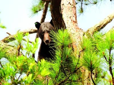 فلوریڈا: کالا ریچھ شکار کی تلاش میں چھپا ہوا ہے
