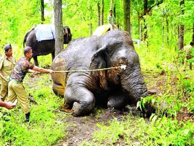 مغربی بنگال: بھارتی محکمہ جنگلات کے اہلکار زخمی ہاتھی کو دوائی لگا رہے ہیں