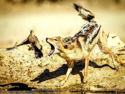 جوہانسبرگ: لومڑی پرندے کا شکار کرنے کی کوشش کر رہی ہے
