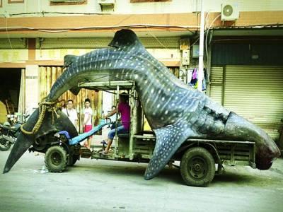 بیجنگ: ماہی گیر پانچ میٹر لمبی شارک مچھلی کو فروخت کرنے کیلئے لیکر جا رہا ہے