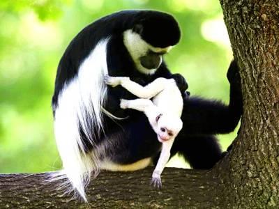 چیک ری پبلک میں نایاب نسل کی ایک بندریانے حال ہی میں پیداہونے والے بچے کو گود میں اٹھارکھاہے
