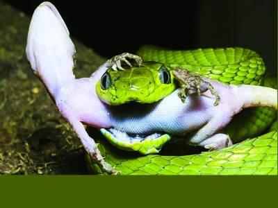 سبز رنگ کاسانپ چھپکلی کوکھا رہا ہے
