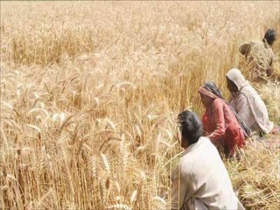 خریداری گندم بہت خوب۔۔۔ اضافی گندم کا حل بھی نکالیں