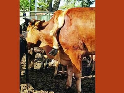 کیپ ٹاؤن میں ایک شخص 5 ٹانگوں والا بیل خرید لایا