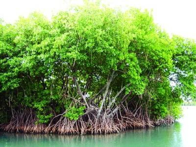 مینگروو کے درخت کی جڑوں کے گرد ماحول دوست جراثیم دریافت