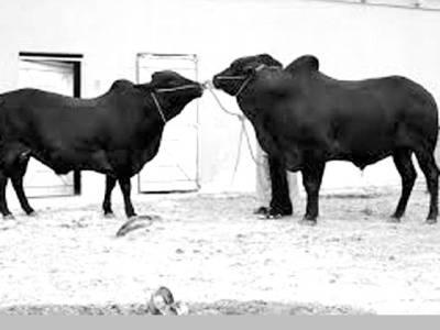 اسلام آباد کی مویشی منڈی میں '' اوباما اور مشعل'' نام کے بیل اور گائے کی دھوم